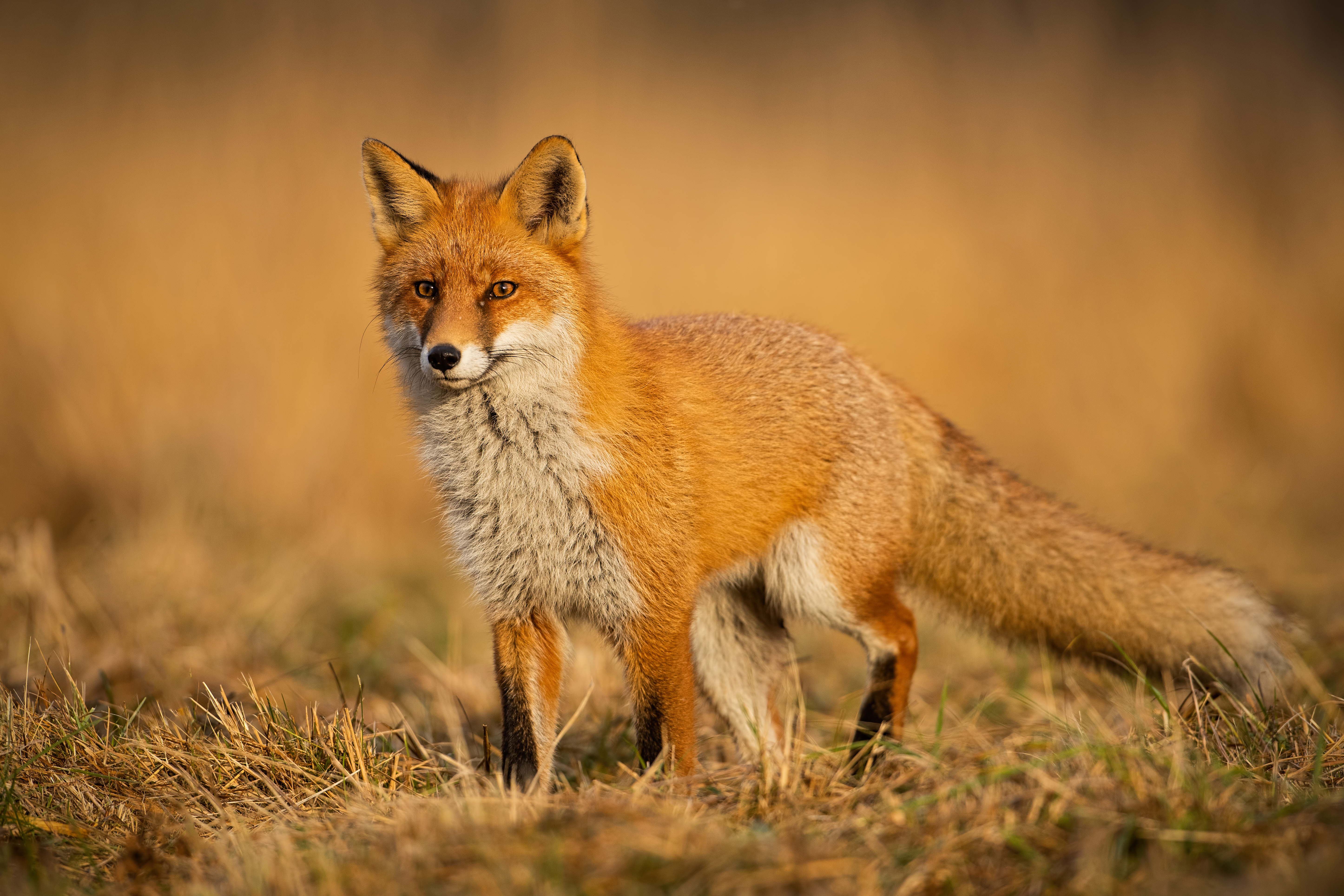 Wayne County man and wife attacked by fox on Monday